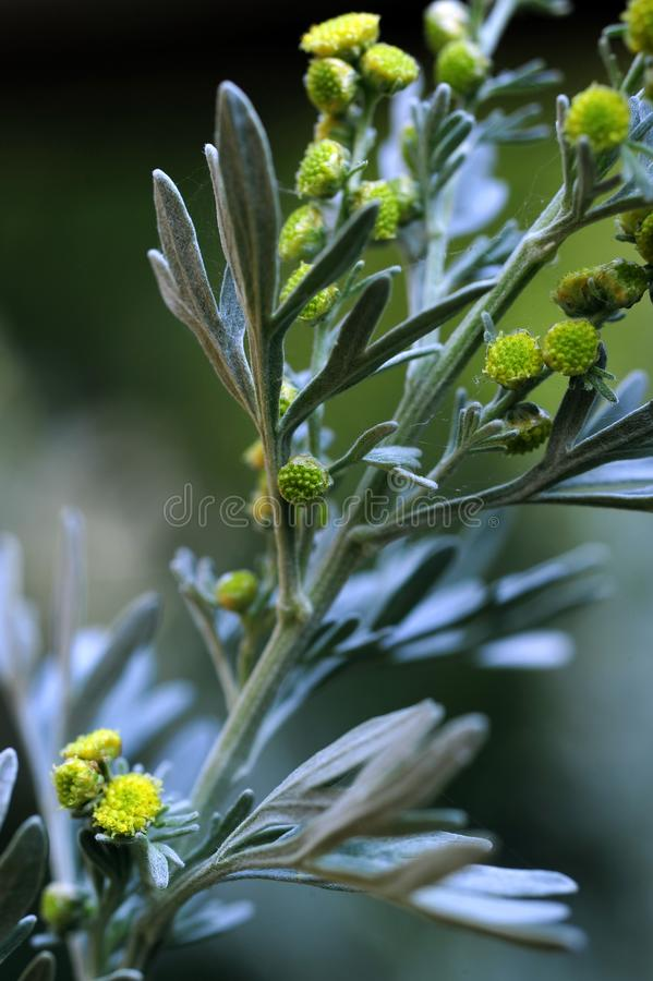 A close up view of the wormwood herb plant stock photography