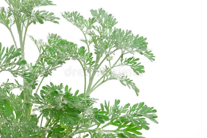 Artemisia absinthium (wormwood) stock photography