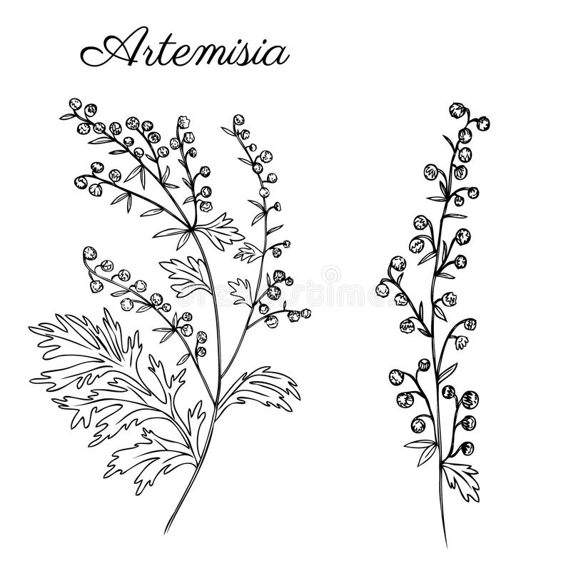 Artemisia absinthium, wormwood hand drawn vector ink sketch isolated on white, Also called absinthium absinthe wormwood. Wormwood, common wormwood, Wormwood vector illustration