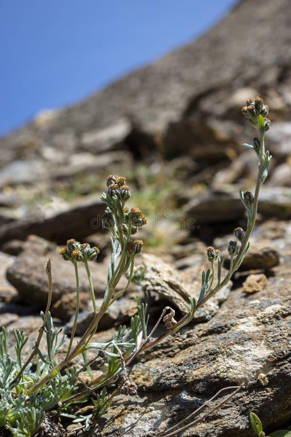Artemisia alpina Umbelliformis de la flor salvaje o ajenjo alpino o blanco Genepì fotos de archivo