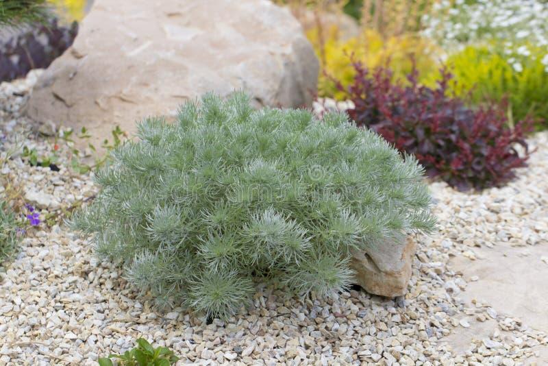 Artemisia santonicum Lecznicza roślina używać w medycynie obrazy royalty free