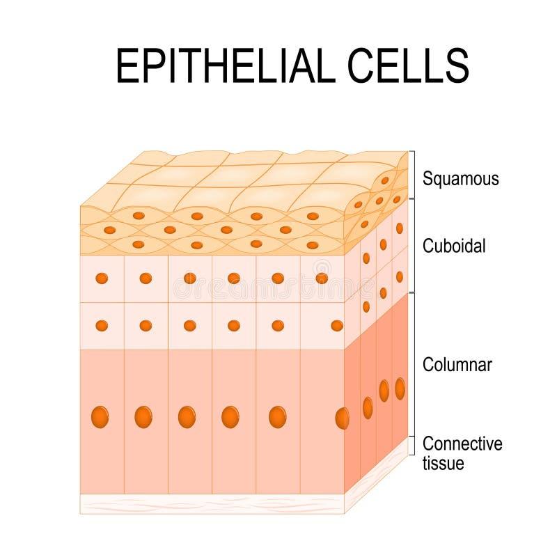 Arten von Epithelzellen lizenzfreie abbildung