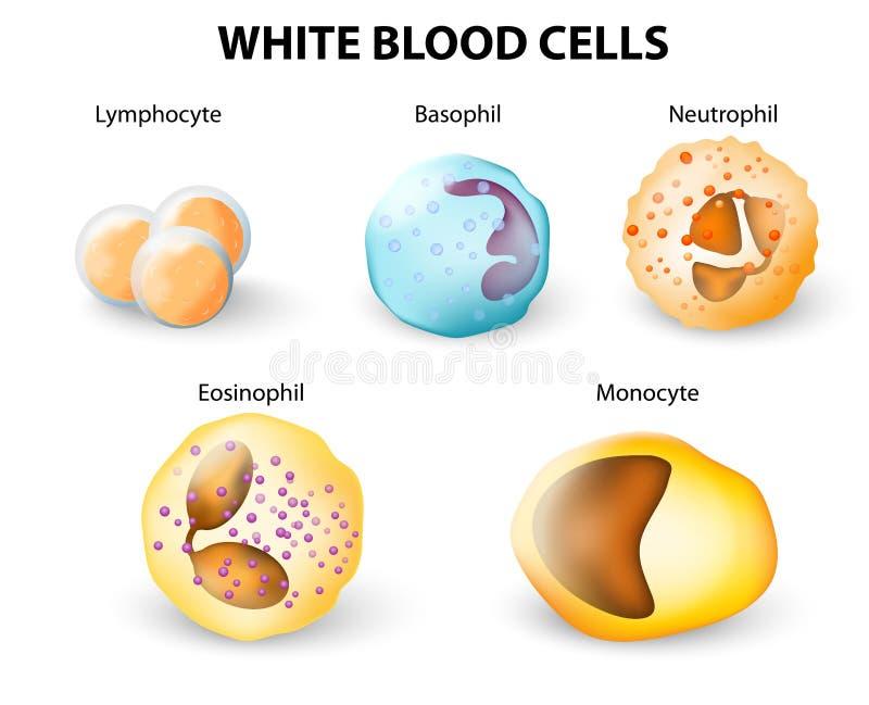 Arten von weißen Blutkörperchen stock abbildung