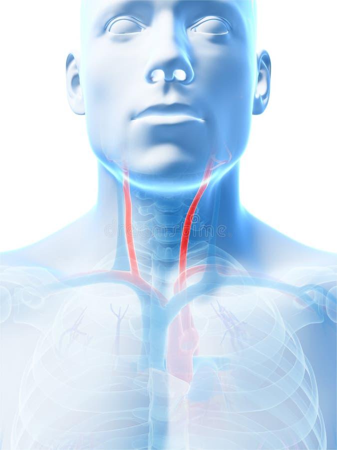 Arteria carotica illustrazione vettoriale