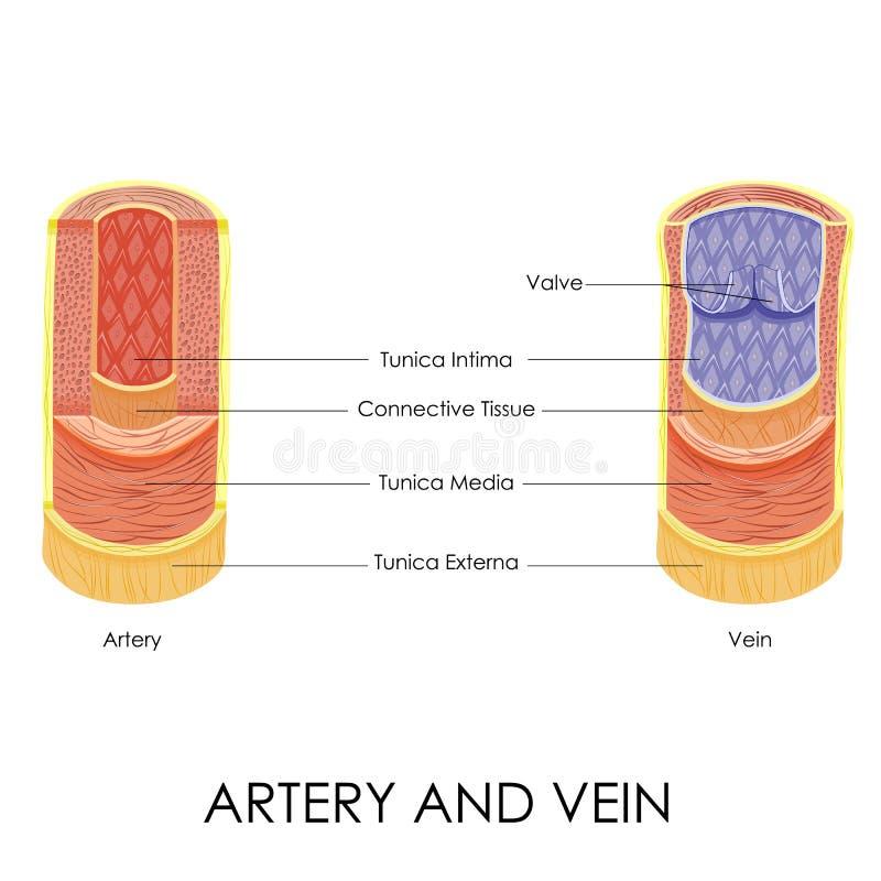 Arteria y vena stock de ilustración