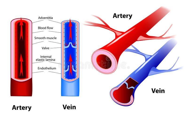 Arteria y vena. Vector ilustración del vector