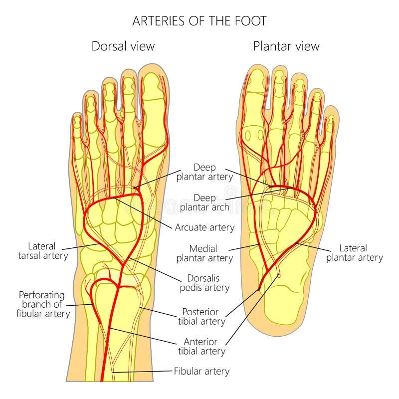 Arterias del pie ilustración del vector. Ilustración de anatomía ...