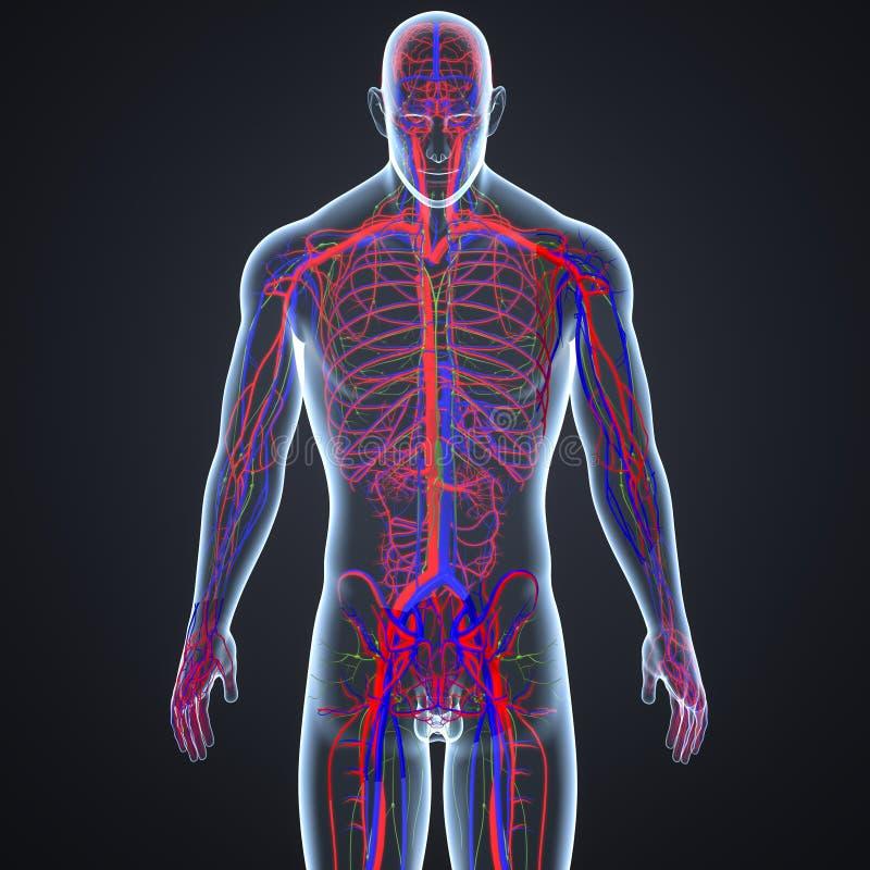 Arterias, venas y ganglios linfáticos en la opinión anterior del cuerpo humano libre illustration