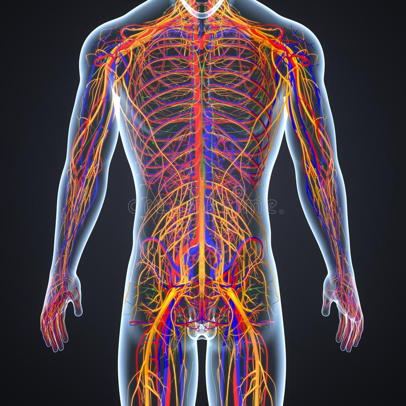 Arterias, venas y nervios con el cuerpo humano stock de ilustración