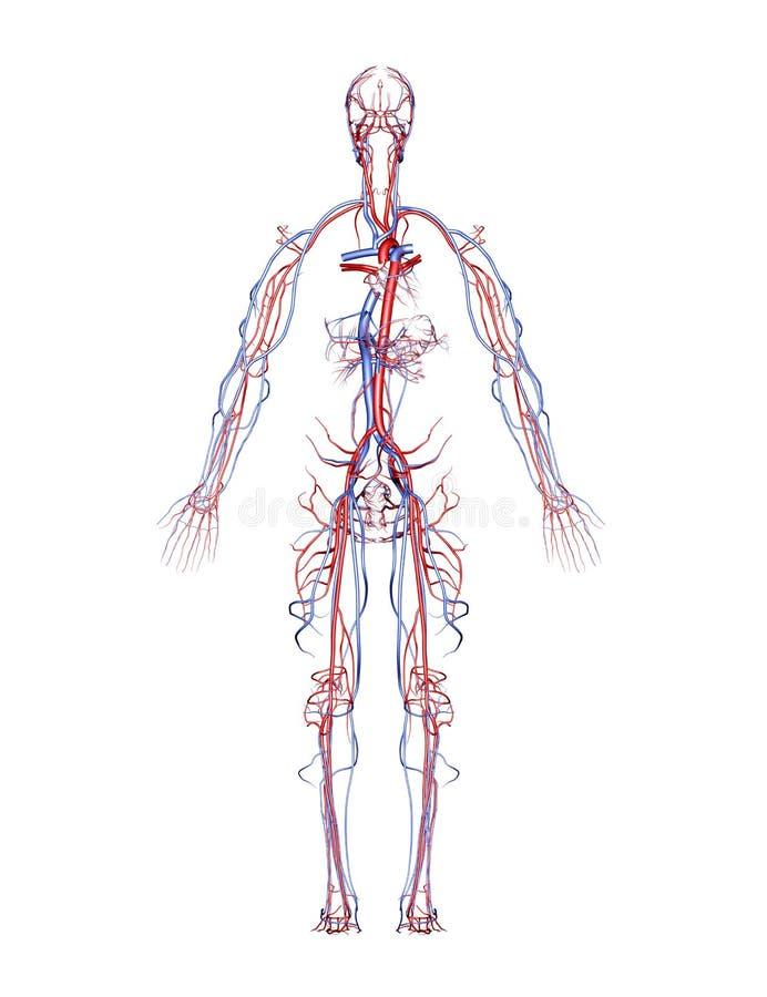 Arterias y venas ilustración del vector