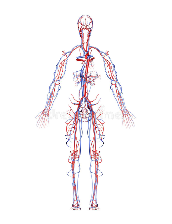 Arterien und Adern vektor abbildung