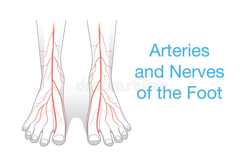 Arteries and nerves of the Foot. vector illustration