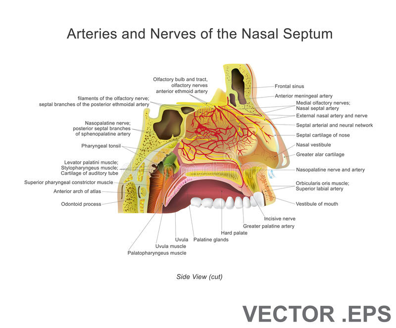 Arteries And Nerves Of The Nasal Septum Stock Vector Illustration
