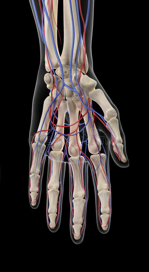 The Arteries And Veins Of The Hand Stock Illustration - Illustration ...