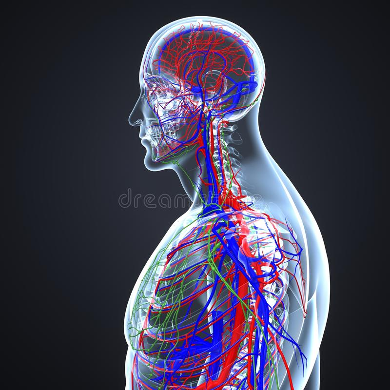 Major Veins Of The Body Stock Vector. Illustration Of
