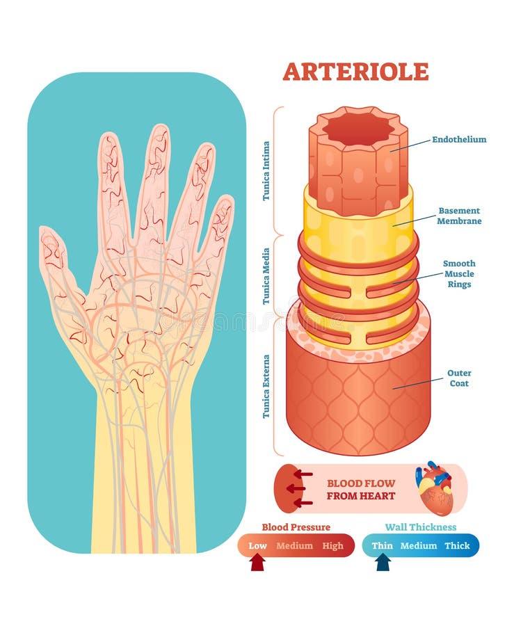 Arteriole anatomische vectorillustratiedwarsdoorsnede Van het het diagramregeling het vaatstelselbloedvat op menselijk handsilhou royalty-vrije illustratie