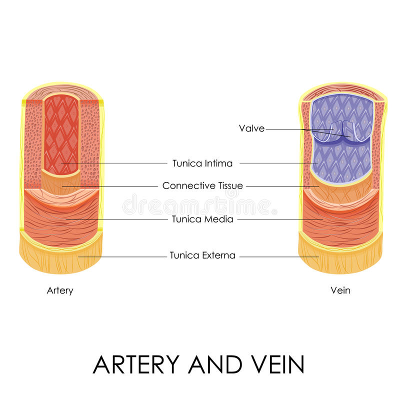 Free Artery And Vein Stock Image - 39773551