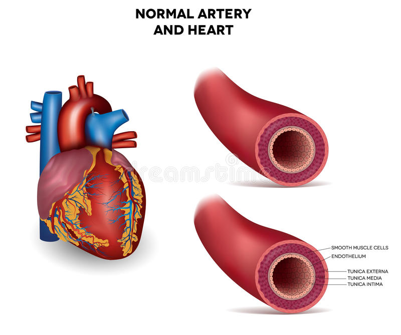 Artery and heart vector illustration