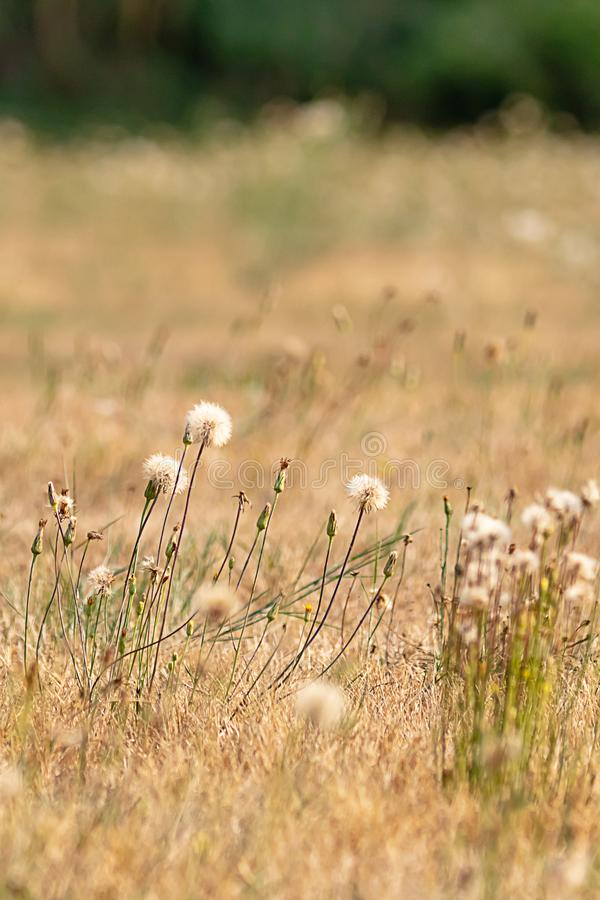 white dandelion puffy tops in a golden field royalty free stock image