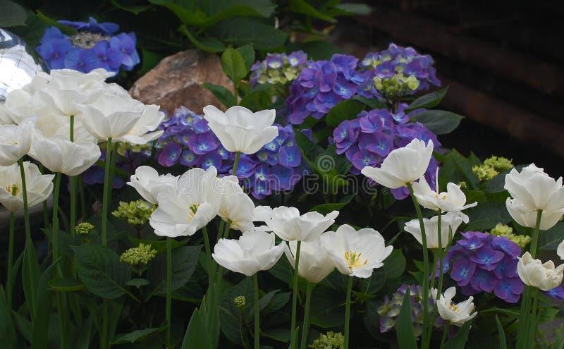 Artfully ordnade tulpan och vanliga hortensior royaltyfri foto