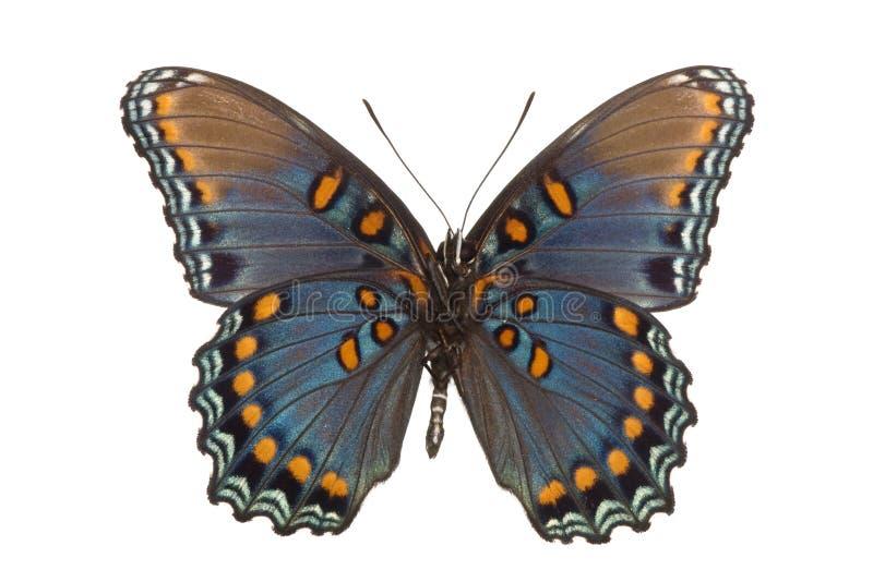 arthemis astyanax limenitis 免版税库存照片