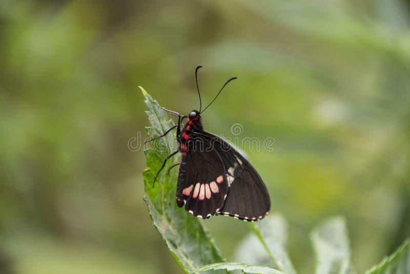 arthemis Rojo-manchados de almirante púrpura o blanco Limenitis imagenes de archivo