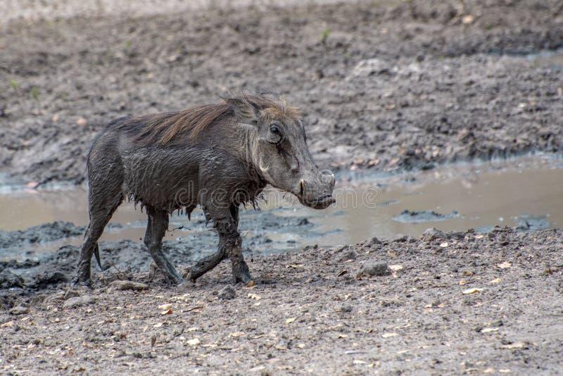 Arthog-Phacochoerus africanus, West-Afrika, Senegal stockfotografie