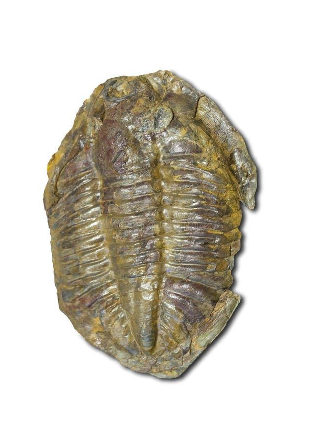 Arthropod fossil. Ordovician Era. Isolated stock photos