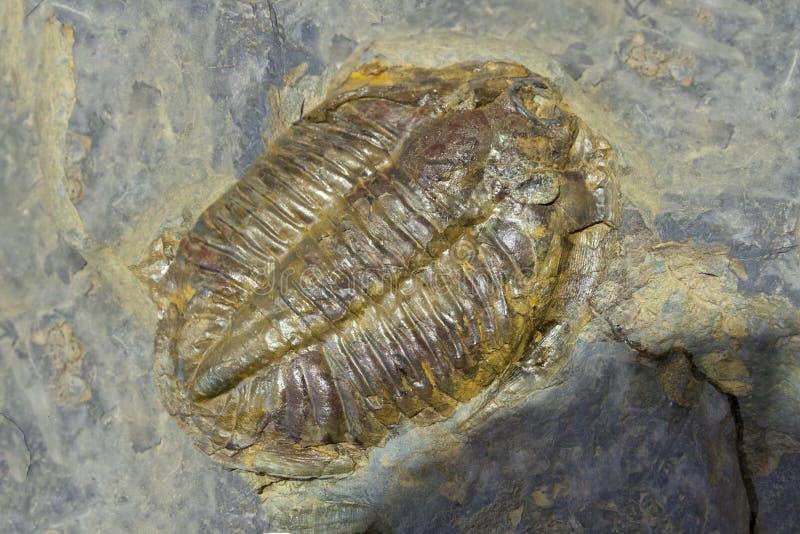 Arthropod fossil. Ordovician Era. In rock royalty free stock photography