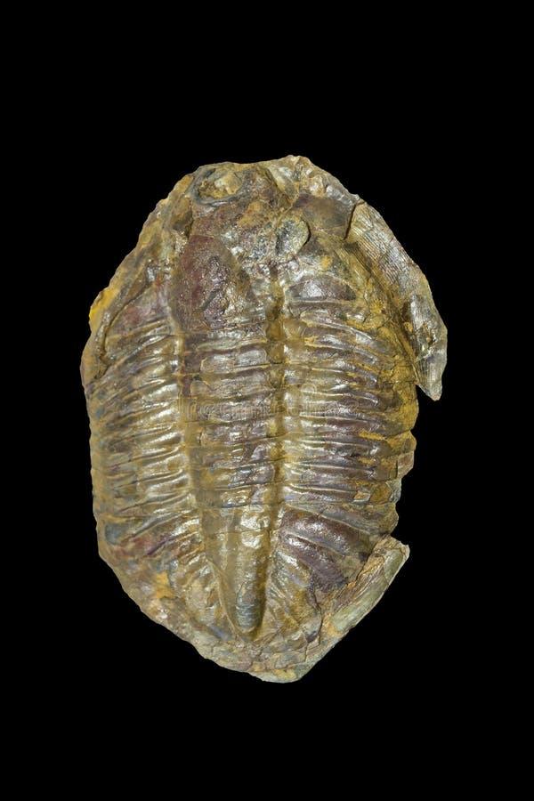 Arthropod fossil. Ordovician Era. Isolated stock image