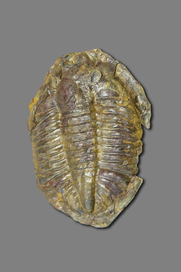 Arthropod fossil. Ordovician Era. Isolated on grey royalty free stock photo