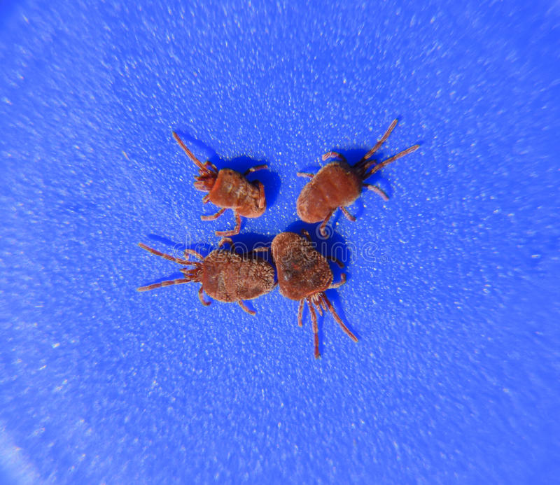 Arthropod mites on a blue background. Close up macro Red velvet royalty free stock photo