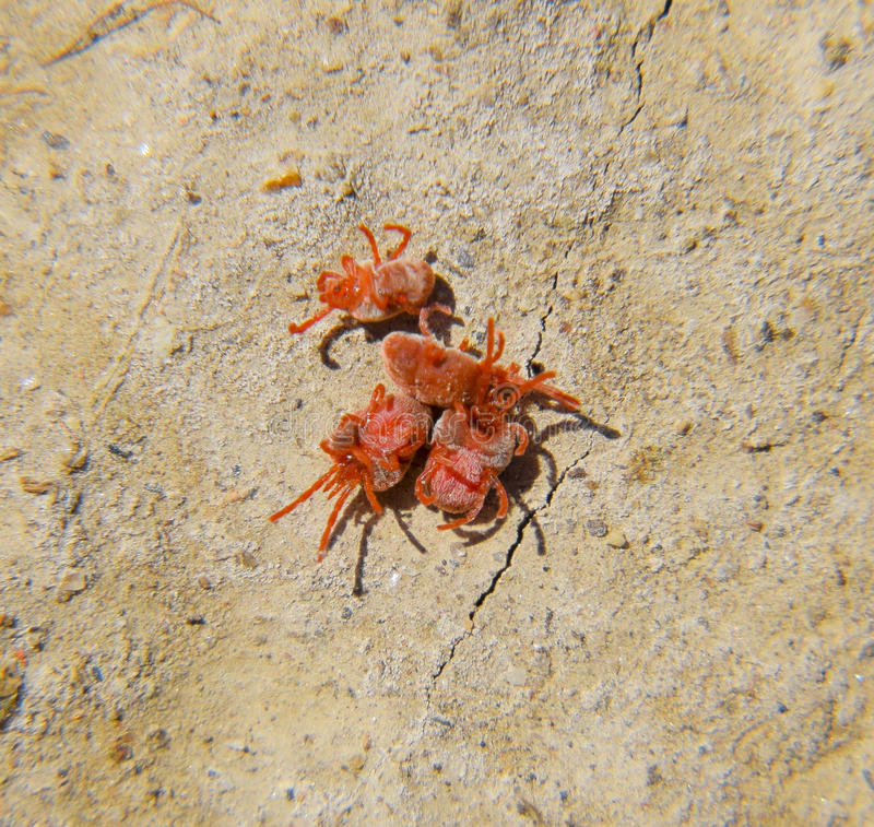 Arthropod mites on the ground. Close up macro Red velvet mite or royalty free stock photos