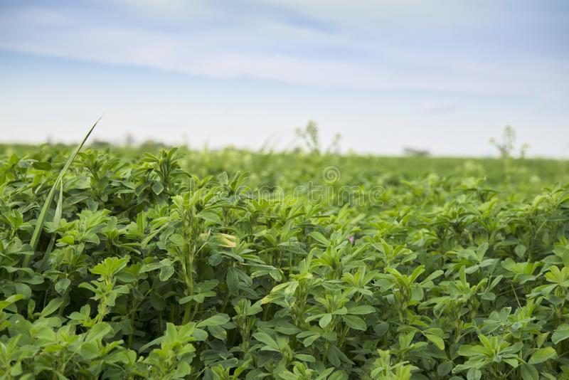 Lespedeza farm field stock photo