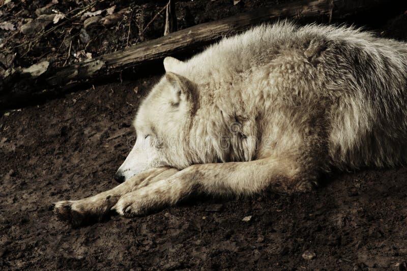 Artic волк стоковые изображения