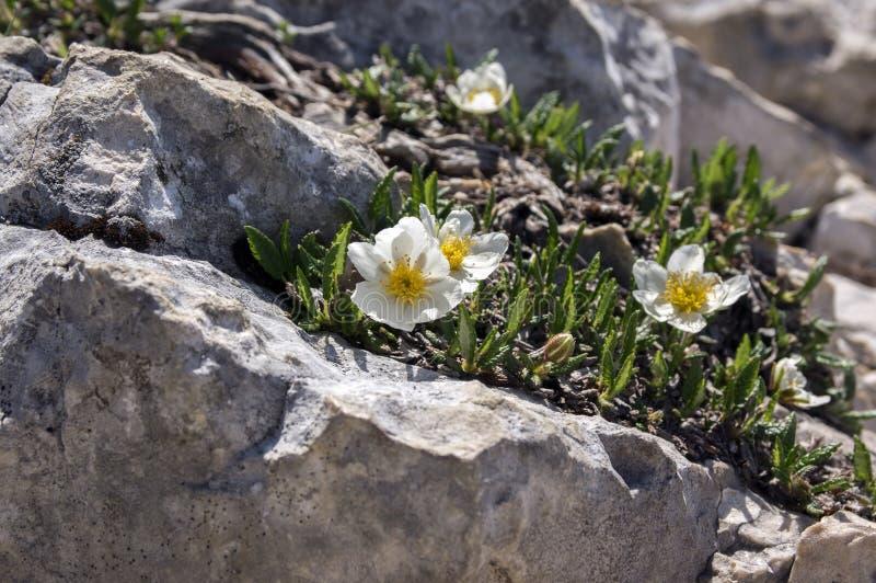 Artic alpiene bloeiende installatie van Dryasoctopetala met acht bloemblaadjes royalty-vrije stock foto's