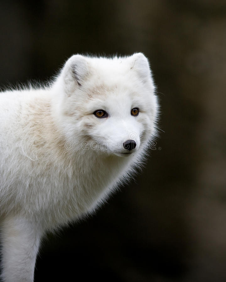 Artic fox royalty free stock photography
