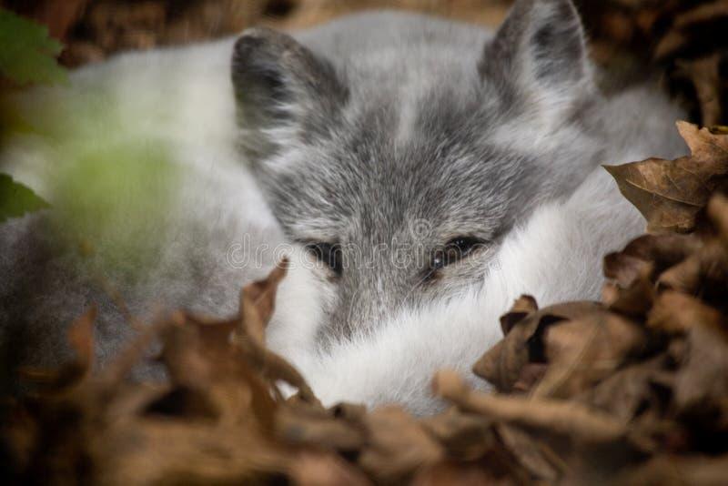 Artic Fox, der heraus emporragt stockfotografie