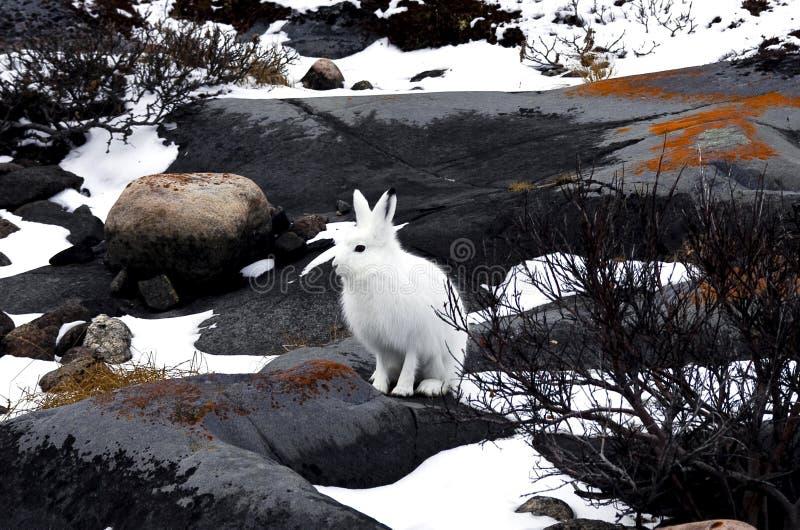 Artic Hare stock photos