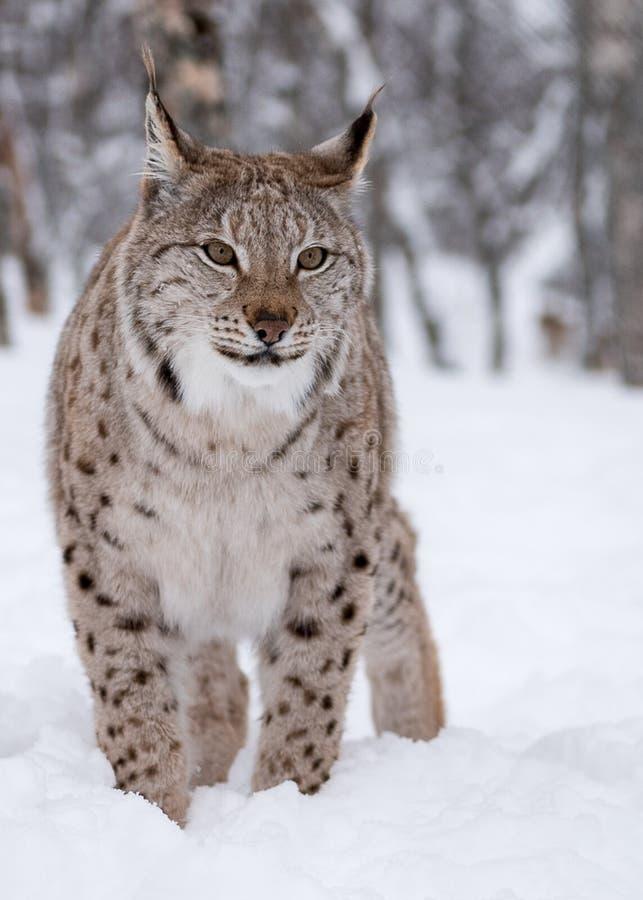 Artic Lynx stock image