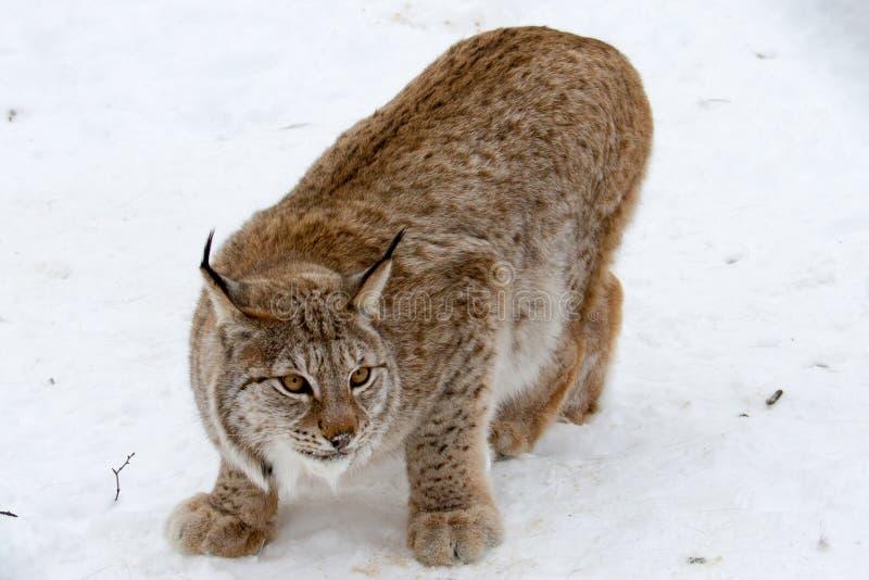 An artic lynx stock photography