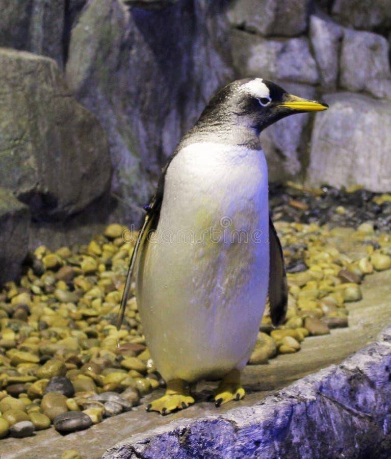Artic pinguïn royalty-vrije stock fotografie
