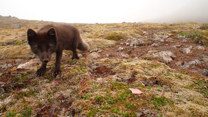Artic räv i Hornstrandir arkivfoto