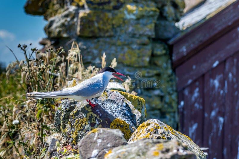 Artic tern стоковые фотографии rf