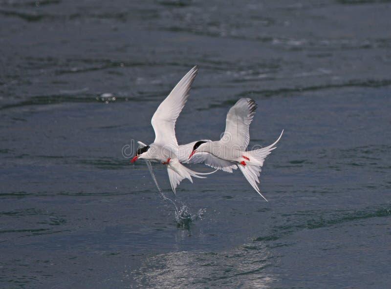 Artic tern стоковое изображение rf