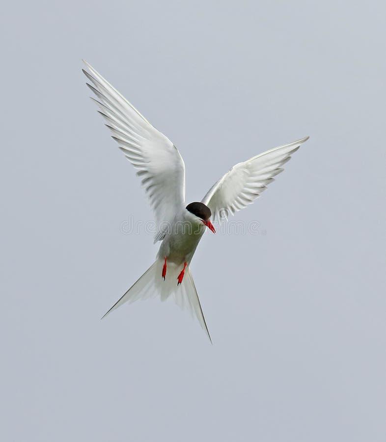 Artic tern стоковая фотография