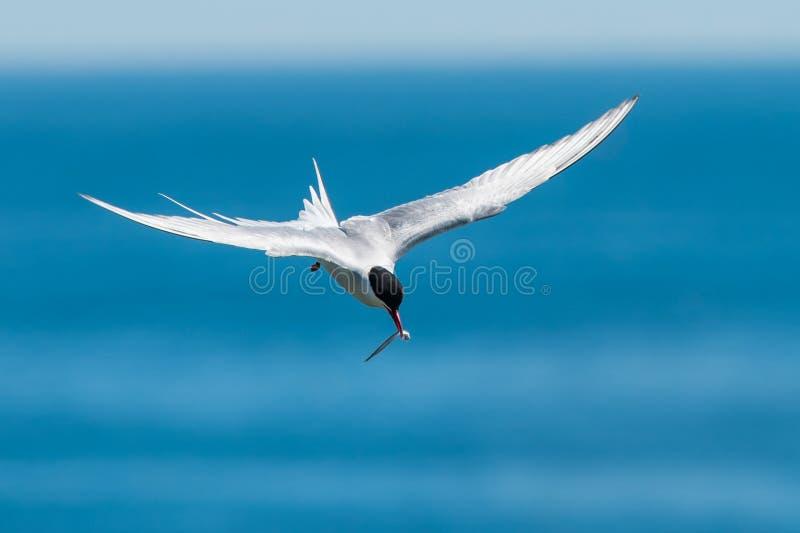 Artic tern fotografia stock