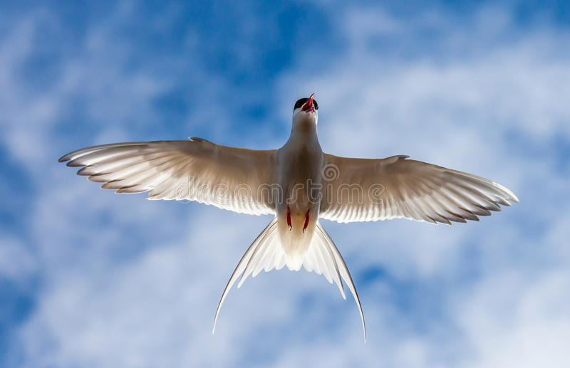Artic Tern in Flight. stock photos