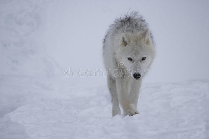 Artic wilk w śniegu obrazy stock
