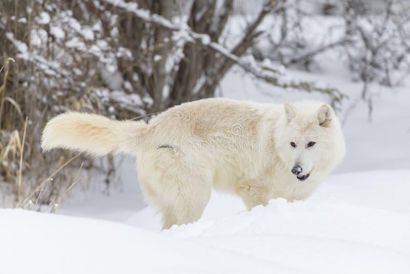 Artic wilk w śniegu zdjęcia royalty free